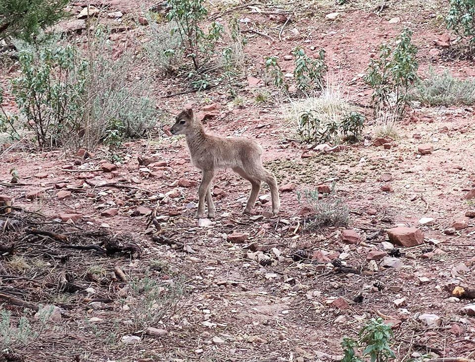 muflon recien nacido en La Maleza Sierra de Albarracín