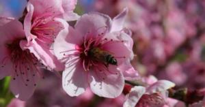 flor melocoton calanda bajo aragon