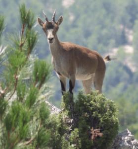 cabra montesa en puertomingalvo