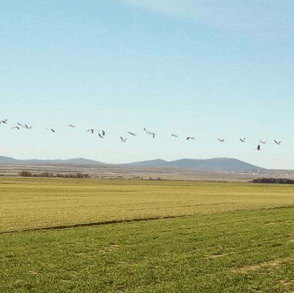 grullas volando en laguna gallocanta
