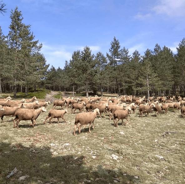 ovejas en cantavieja