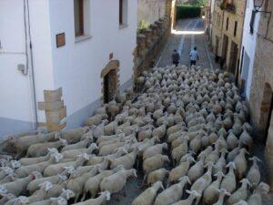 ovejas en trashumancia en la iglesuela del cid