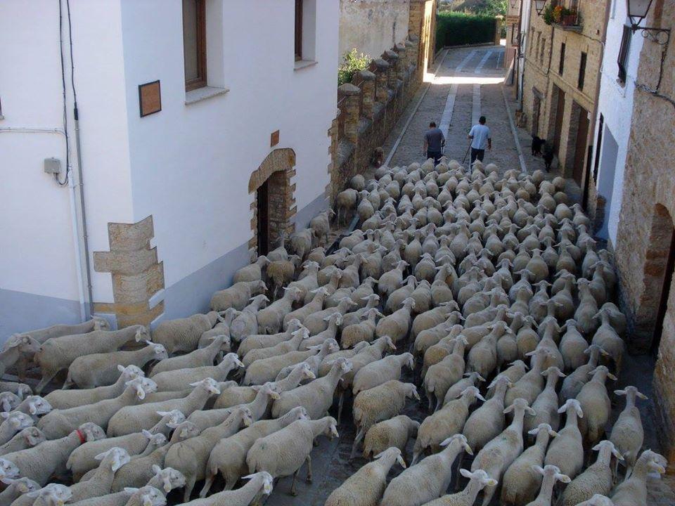 trashumancia ovejas en la iglesuela del cid