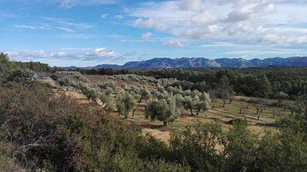 paisaje olivos calaceite