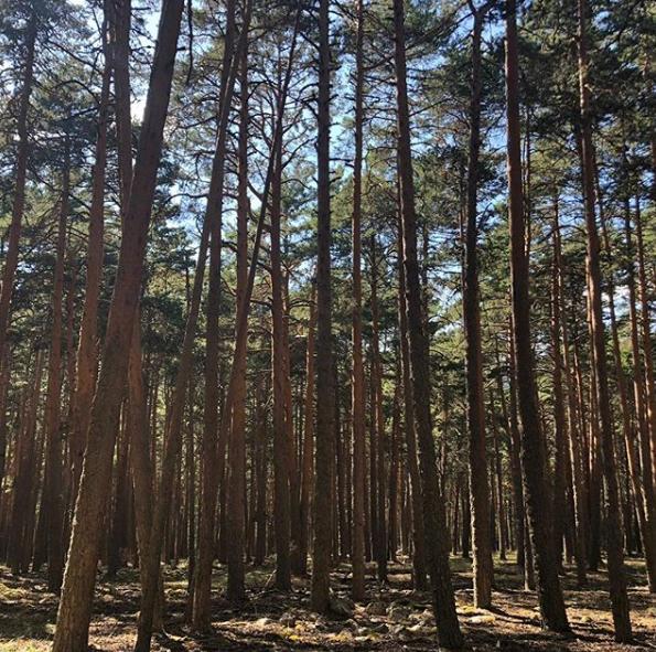 bosque de pinos orihuela del tremedal