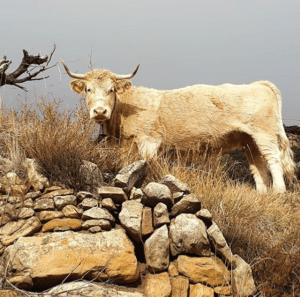 vaca blanca en puertomingalvo