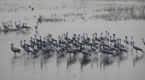 grullas en laguna de gallocanta