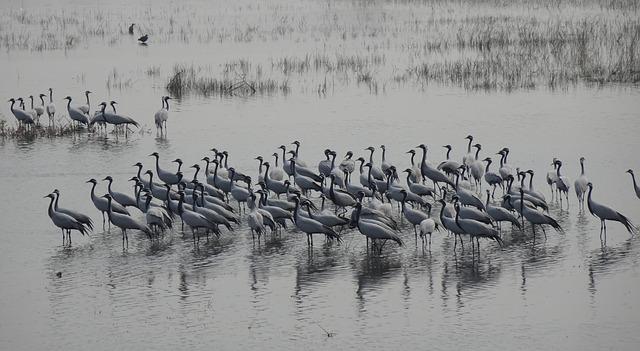 grullas en la laguna de gallocanta