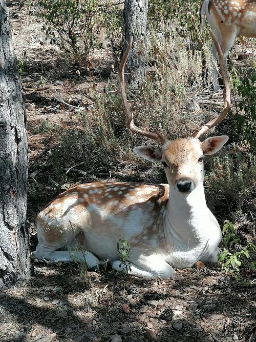 ciervo en la maleza de Albarracín